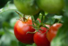 Il pomodoro è un alimento afrodisiaco